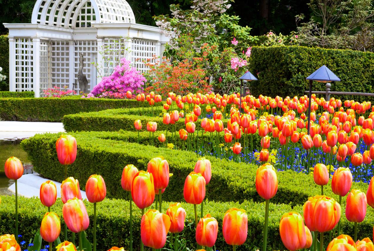 BritishColumbia_Victoria_ButchartGardens_Tulips_iS_20218367XLarge