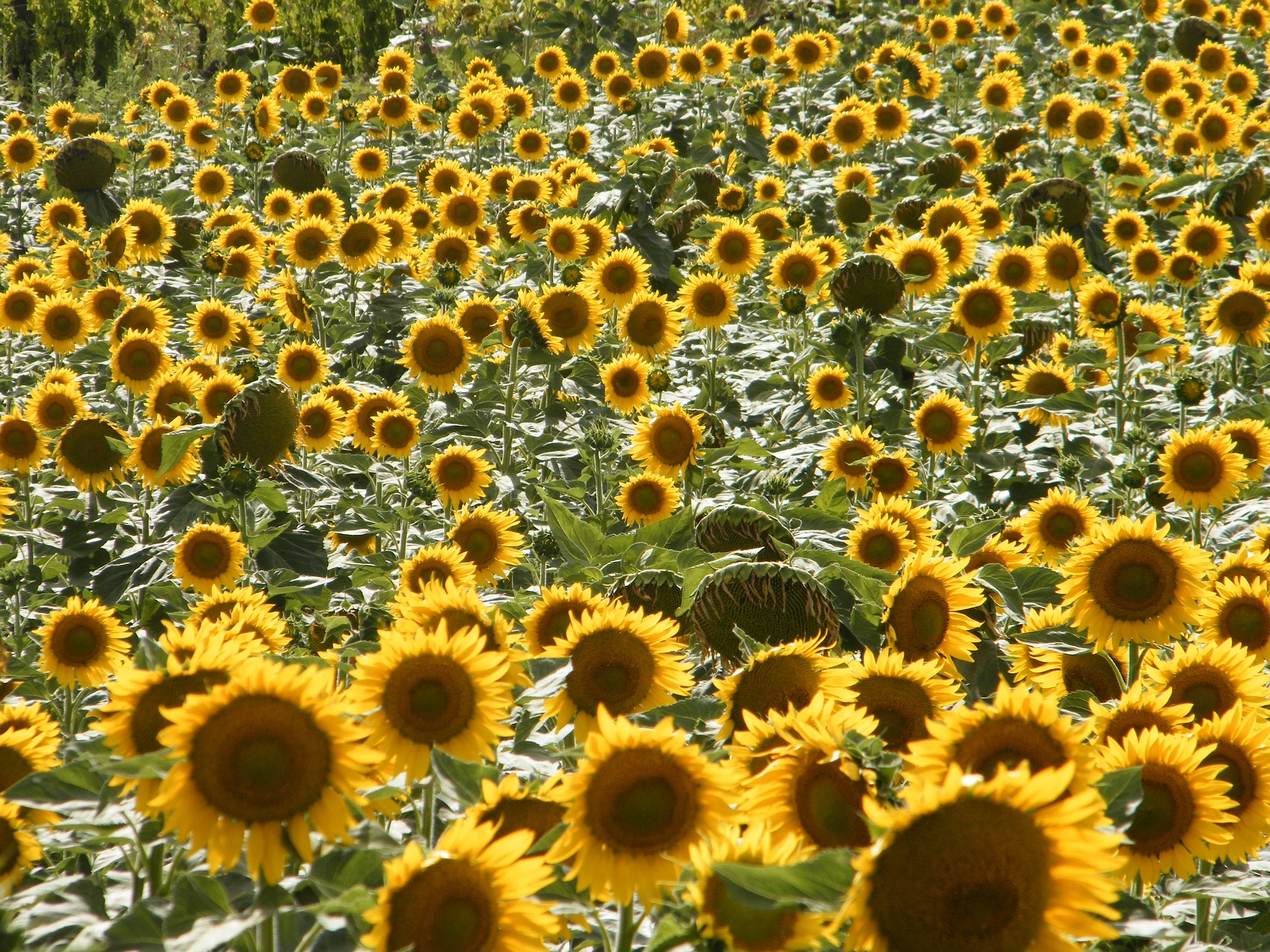 sunflowers-969833_1920