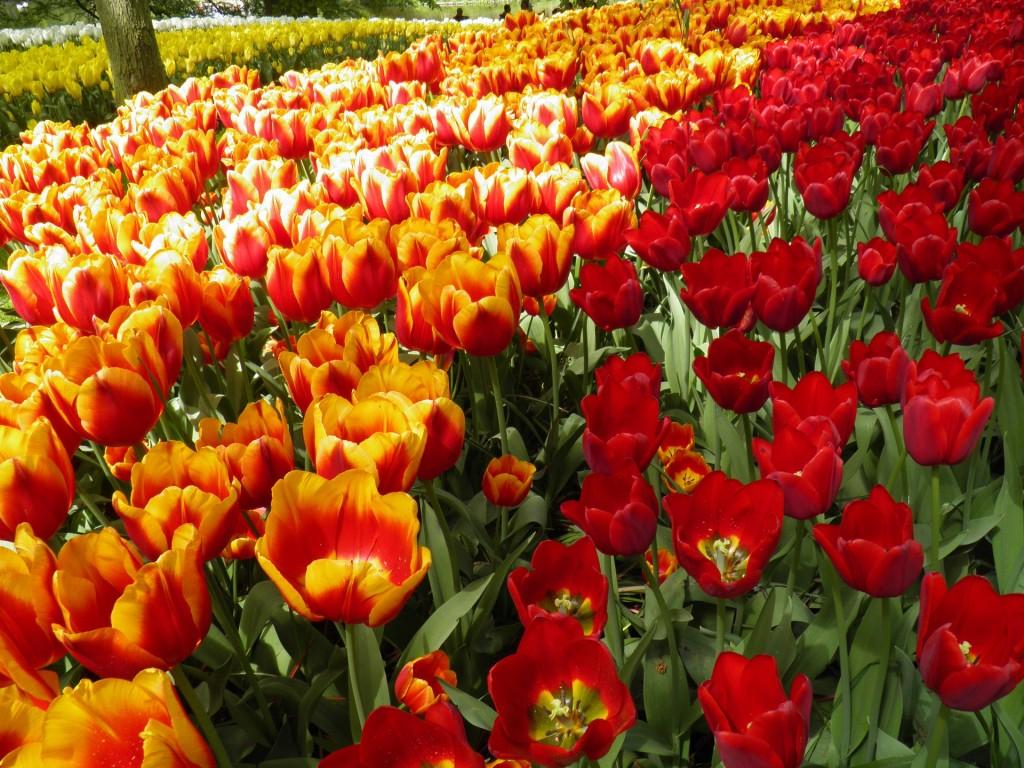 tulip-769219_1920
